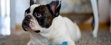 best toys for French bulldogs Featured Image