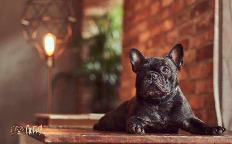 black-French-bulldog-