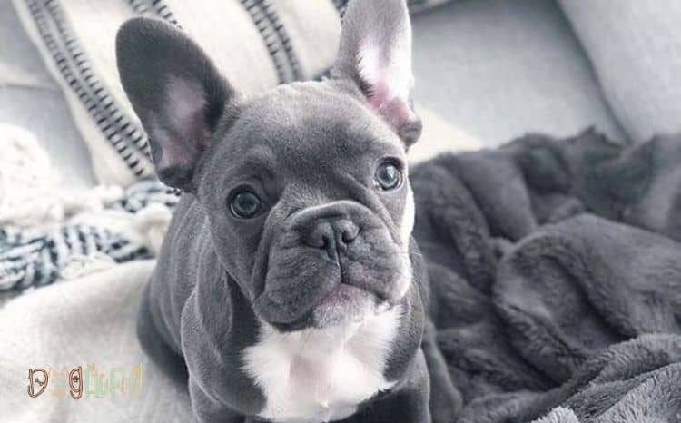 can-French-bulldogs-eat-apples_