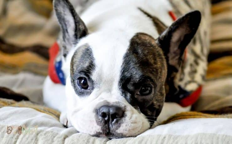 common French bulldog health issues featured image