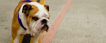 what do bulldogs like to do Featured Image
