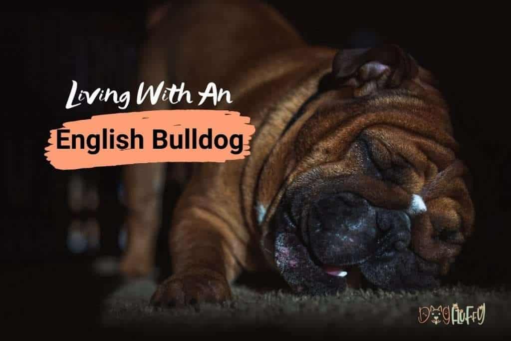 Living With An English Bulldog - Dog Fluffy