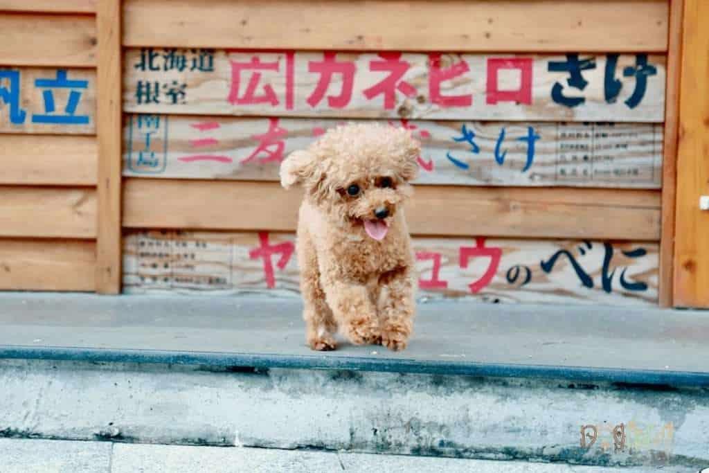 Poodle Dog Care Dog Fluffy