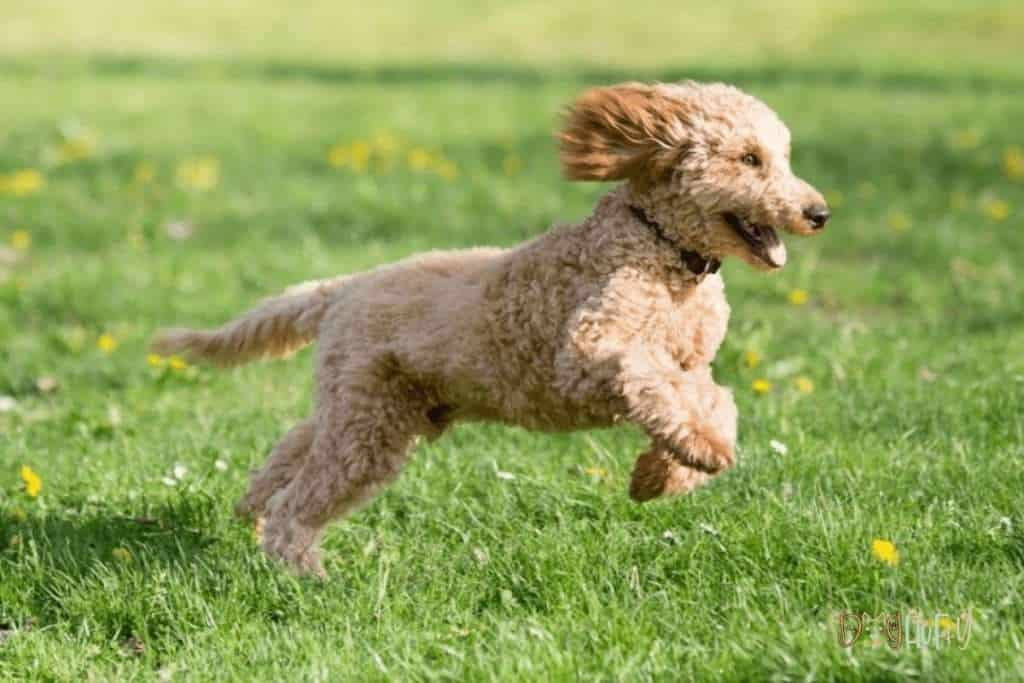 Poodle Dog Exercise - Dog Fluffy