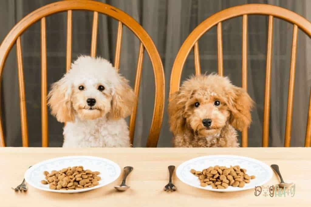 Poodle Dog Feeding - Dog Fluffy