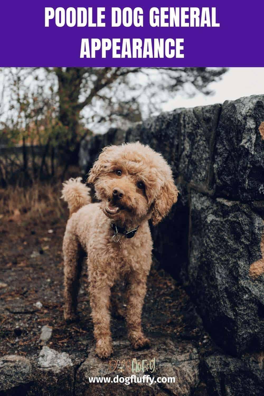 Poodle Dog General Appearance