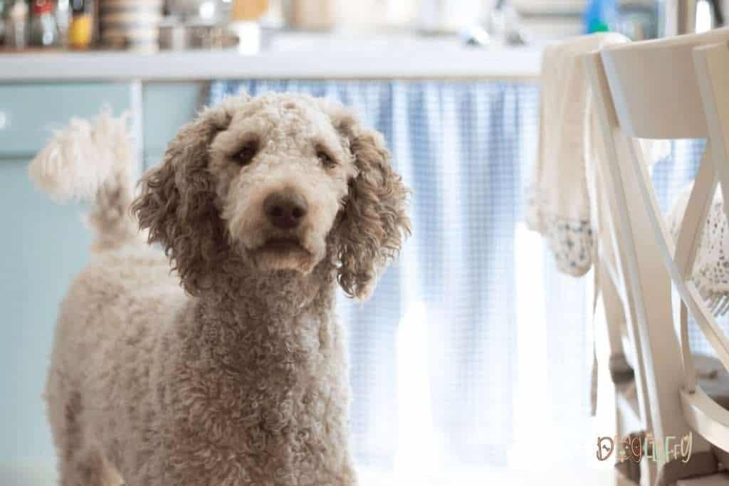 Poodle Dog Personality - Dog Fluffy