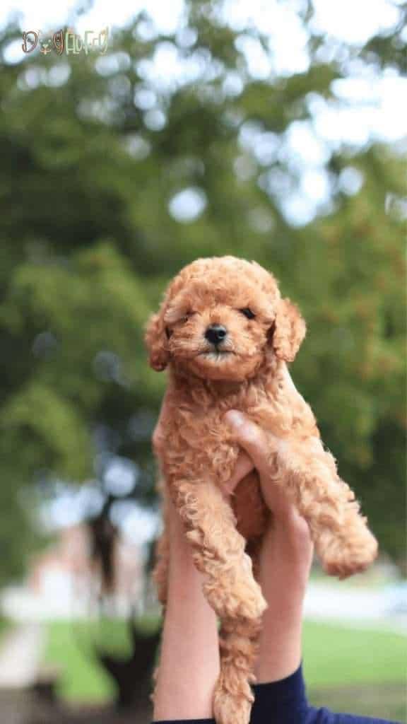 Poodle Dog Size - Dog Fluffy