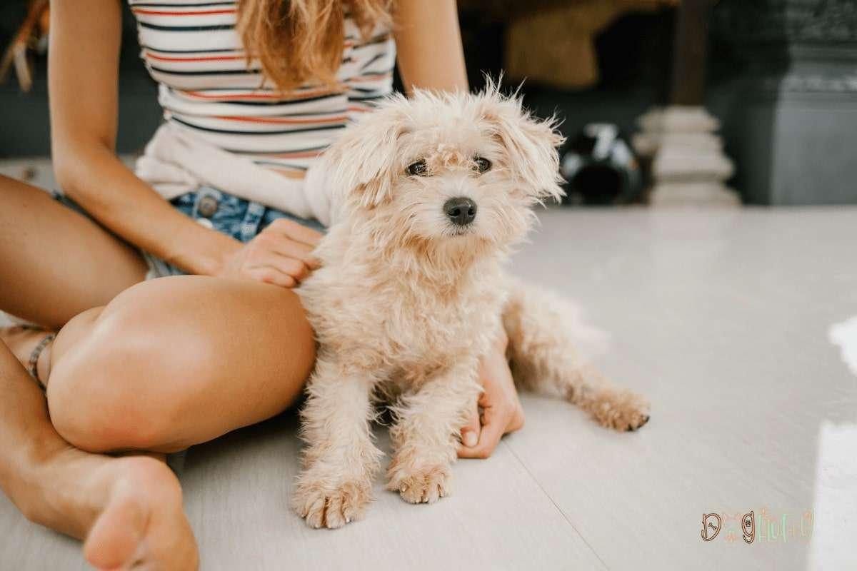 Poodle The Most Intelligent Dog