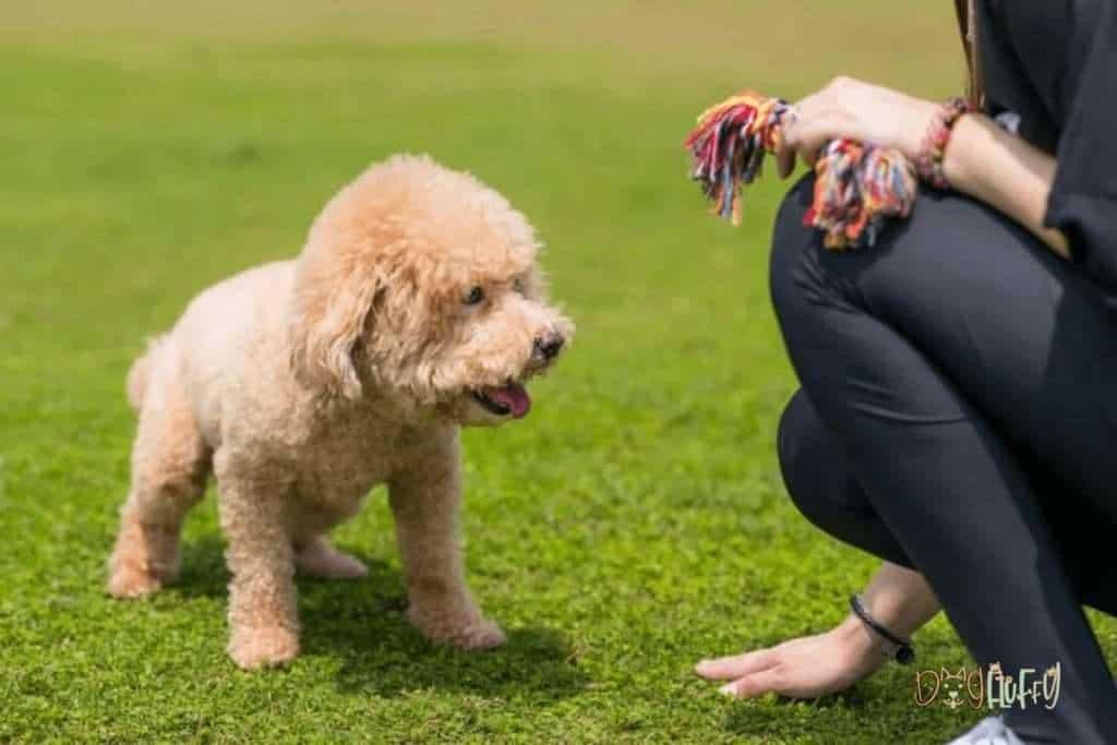 Poodle Training - Dog Fluffy