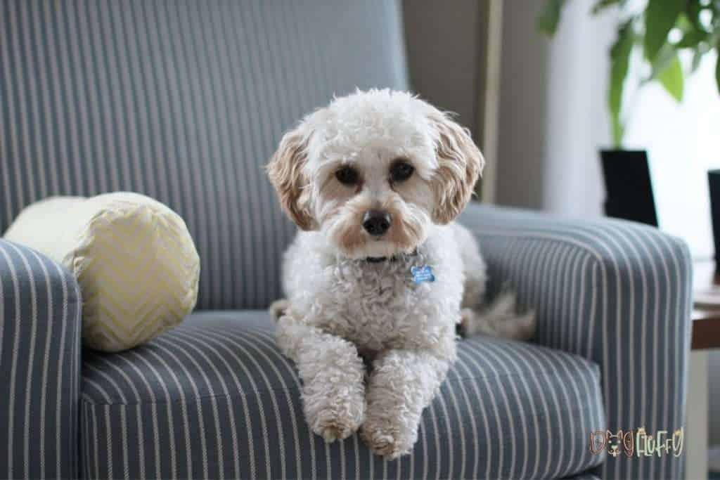 Select The Best Dog Foods For Cavapoo - Dog Fluffy