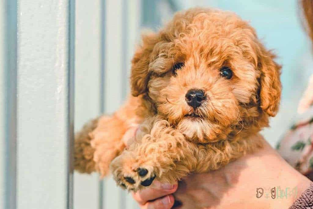 Top 10 Best Dog Foods for Cavapoo - Dog Fluffy