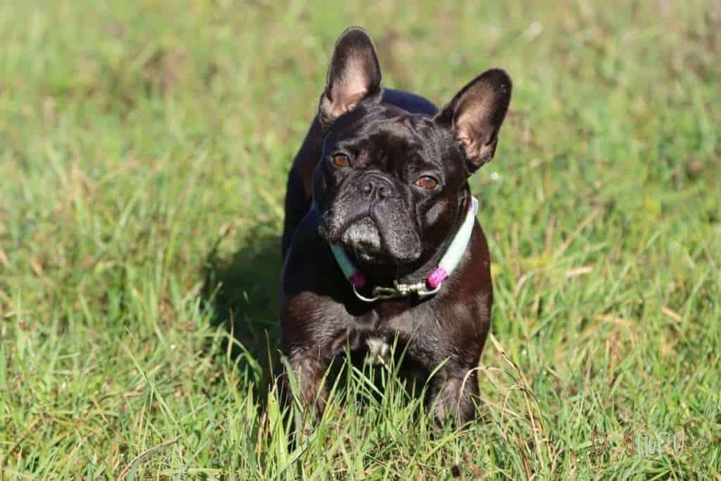 Here Are The Top 10 Best Dog Food For French Bulldogs - Dog Fluffy